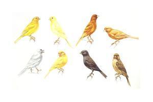Birds: Passeriformes, Canaries (Serinus Canaria): Colourbred Canaries, Colour Mutations