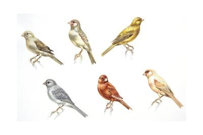 Birds: Passeriformes, Canaries (Serinus Canaria): Colourbred Canaries, Colour Mutations--Giclee Print
