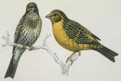 Birds: Passeriformes, Canary (Serinus Canaria) Couple--Giclee Print