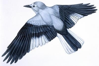 Birds: Passeriformes, Clark's Nutcracker (Nucifraga Columbiana)--Giclee Print