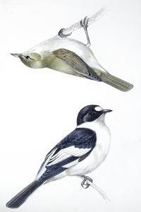 Birds: Passeriformes, Collared Flycatcher (Ficedula Albicollis) and Garden Warbler (Sylvia Borin)