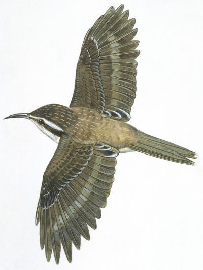 Birds: Passeriformes, Common Treecreeper (Certhia Familiaris)--Giclee Print