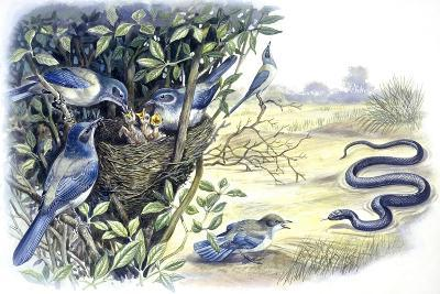 Birds: Passeriformes, Family of Western Scrub-Jay (Aphelocoma Californica)--Giclee Print