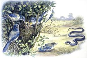 Birds: Passeriformes, Family of Western Scrub-Jay (Aphelocoma Californica)