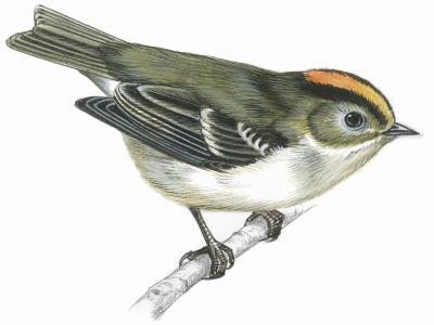 Birds: Passeriformes, Goldcrest (Regulus Regulus)--Giclee Print