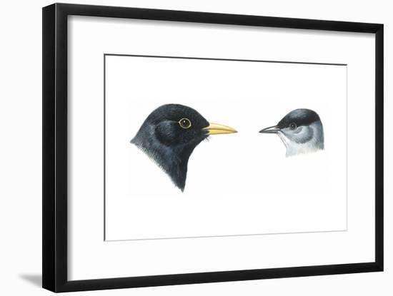 Birds: Passeriformes, Heads of Blackbird (Turdus Merula) and Blackcap (Sylvia Atricapilla)--Framed Giclee Print