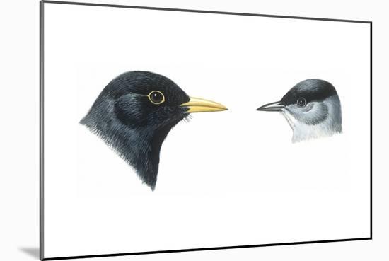 Birds: Passeriformes, Heads of Blackbird (Turdus Merula) and Blackcap (Sylvia Atricapilla)--Mounted Giclee Print