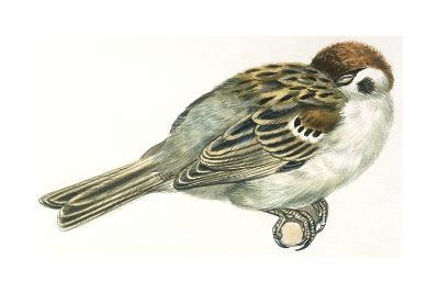 Birds: Passeriformes, Italian Sparrow (Passer Italiae) Sleeping with Head Hidden in Wings--Giclee Print