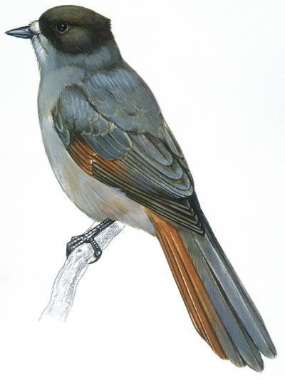 Birds: Passeriformes, Siberian Jay (Perisoreus Infaustus)--Giclee Print