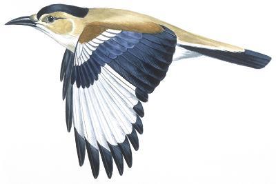 Birds: Passeriformes, Turkestan Ground-Jay (Podoces Panderi)--Giclee Print
