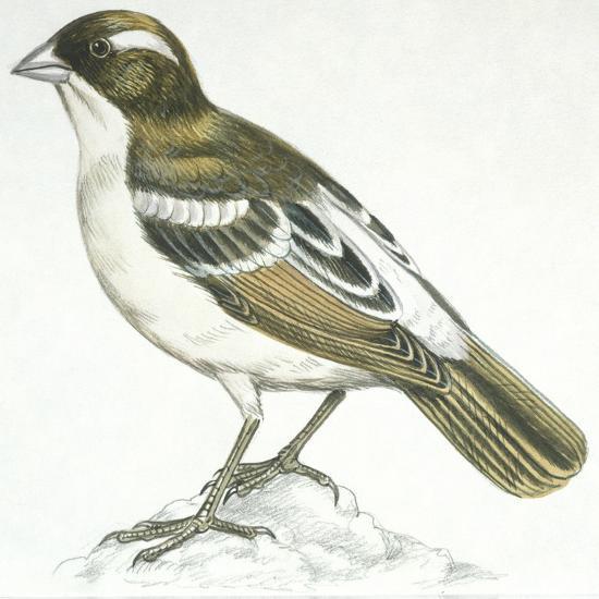 Birds: Passeriformes, White-Browed Sparrow-Weaver (Plocepasser Mahali)--Giclee Print