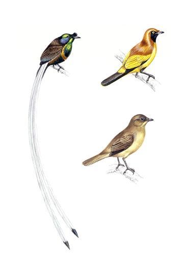 Birds: Passeriformes--Giclee Print