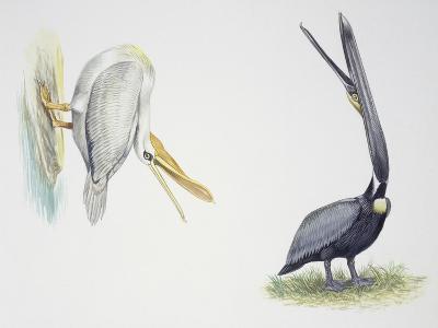 Birds: Pelecaniformes--Giclee Print