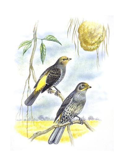 Birds: Piciformes, Couple of Honeyguide--Giclee Print