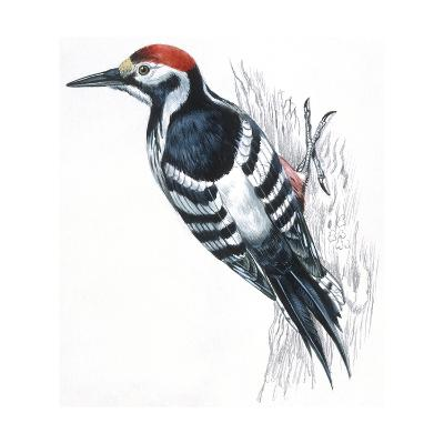 Birds: Piciformes, White-Backed Woodpecker (Dendrocopos Leucotos)--Giclee Print