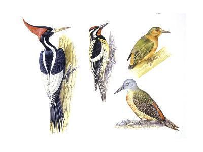 Birds: Piciformes--Giclee Print