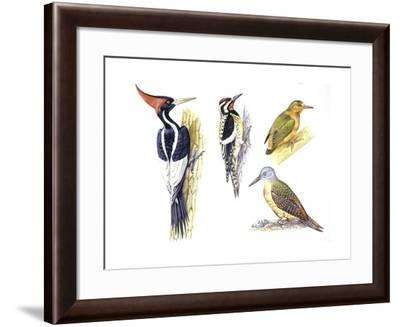 Birds: Piciformes--Framed Giclee Print