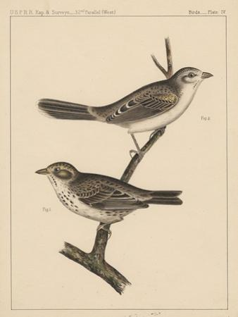 Birds, Plate IV, 1855