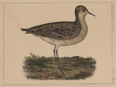 Birds, Plate VI, 1855--Giclee Print