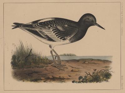 Birds, Plate VII, 1855--Giclee Print