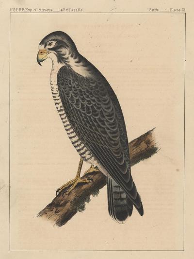 Birds, Plate XI, 1855--Giclee Print