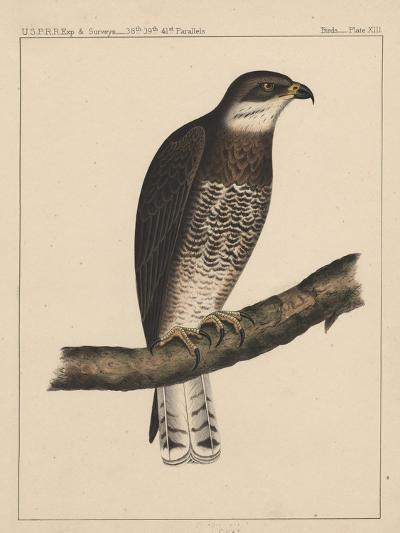 Birds, Plate XIII, 1855--Giclee Print
