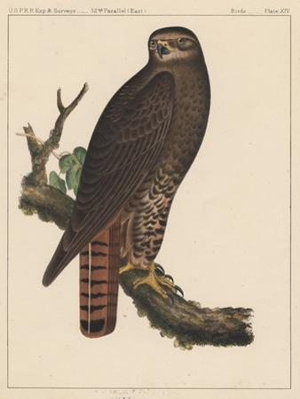 Birds, Plate XIV, 1855