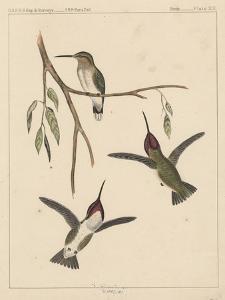 Birds, Plate XIX, 1855