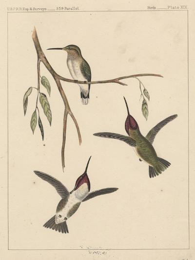 Birds, Plate XIX, 1855--Giclee Print