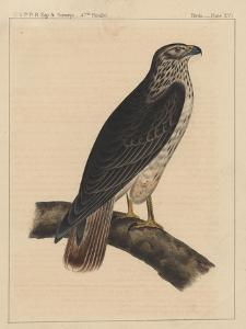 Birds, Plate XVI, 1855