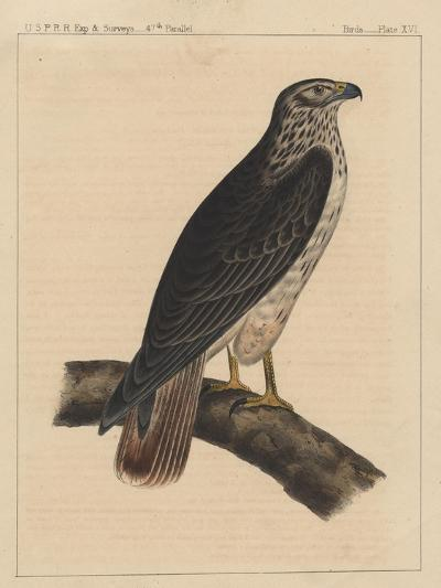 Birds, Plate XVI, 1855--Giclee Print