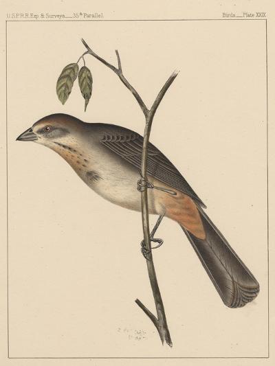 Birds, Plate XXIX, 1855--Giclee Print
