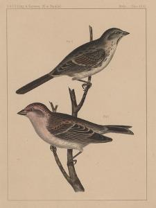 Birds, Plate XXVII, 1855