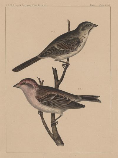Birds, Plate XXVII, 1855--Giclee Print