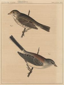 Birds, Plate XXVIII, 1855