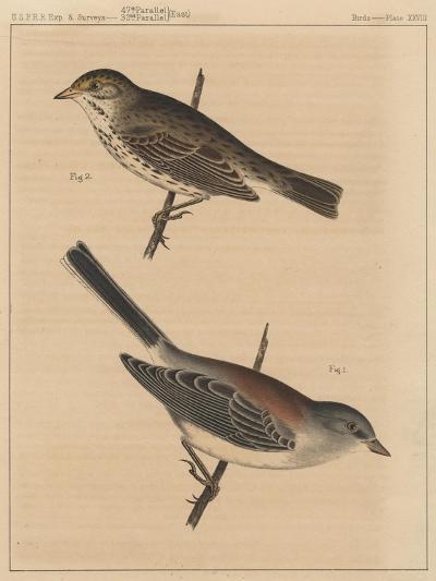 Birds, Plate XXVIII, 1855--Giclee Print