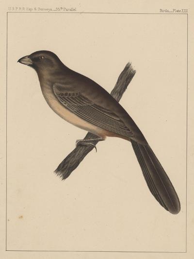 Birds, Plate XXX, 1855--Giclee Print
