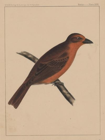 Birds, Plate XXXI, 1855--Giclee Print