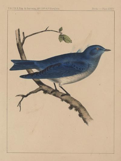Birds, Plate XXXV, 1855--Giclee Print