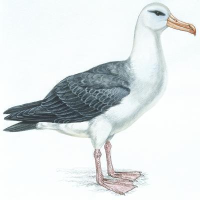 Birds: Procellariiformes, Black-Browed Albatross (Thalassarche Melanophrys)--Giclee Print