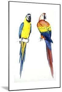 Birds: Psittaciformes, Blue-And-Yellow Macaw (Ara Ararauna) and Scarlet Macaw (Ara Macao)
