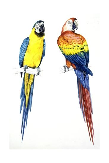 Birds: Psittaciformes, Blue-And-Yellow Macaw (Ara Ararauna) and Scarlet Macaw (Ara Macao)--Giclee Print
