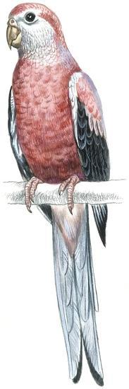 Birds: Psittaciformes, Bourke's Parrot (Neophema Bourkii)--Giclee Print