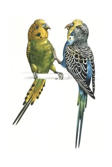 Birds: Psittaciformes, Budgerigars (Melopsittacus Undulatus) Arguing--Giclee Print