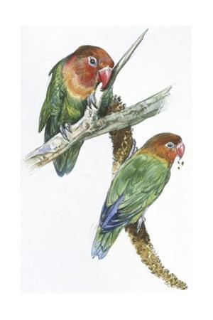 Birds: Psittaciformes, Couple of Fischer's Lovebird (Agapornis Fischeri) Feeding