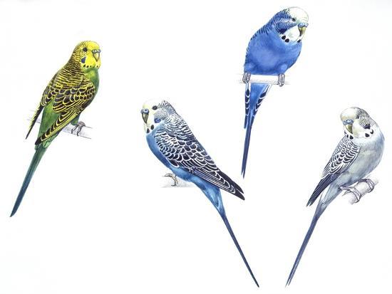 Birds: Psittaciformes--Giclee Print