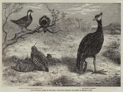 Birds Recently Added to the Royal Zoological Society's Collection in Regent's Park--Giclee Print