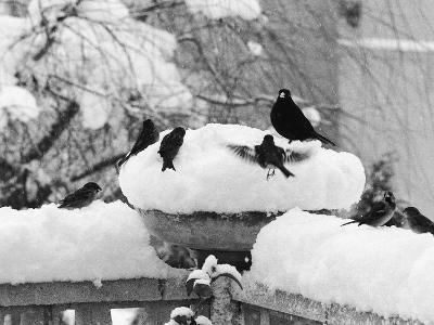 Birds Rummaging for Food in a Plant Pot Coverd in Snow, Shoreham, Kent--Photographic Print