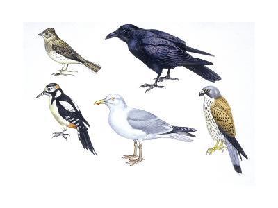Birds: Skylark (Passeriformes--Giclee Print