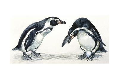 Birds: Sphenisciformes, Humboldt Penguin (Spheniscus Humboldti) Couple--Giclee Print
